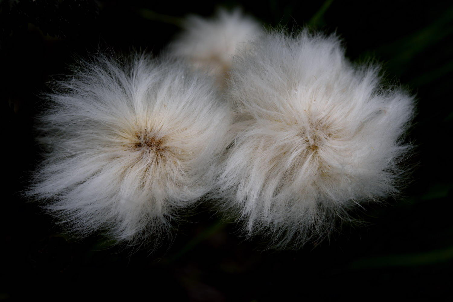 DSC_5456_1A2 - Cotton Grass